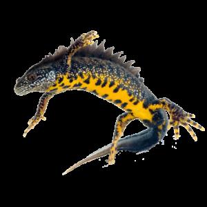 Triturus cristatus (great crested newt) eDNA detection kit